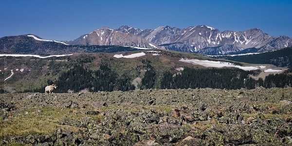 Bighorn ram and the Truchas Peaks, Pecos Wilderness, New Mexico