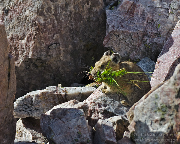 A pika gathering winter stores, Pecos Wilderness, New Mexico